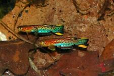 12 Eggs of Scriptaphyosemion schmitti «Juarzon RL 83-121» (Rare Killifish)