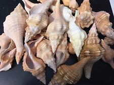 9 Ounces Horse Conch Sea Shells Sw Florida Beaches Sanibel