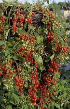 """Tomato """"Hundreds And Thousands"""" Ideal For Hanging Baskets Exquisite Tasting"""
