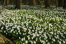 3 Anemone nemerosa AGM Woodland shade Native Early spring White Wildflower