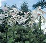 GIANT HIMALAYAN LILY Cardiocrinum Giganteum Yunnan 50 seeds