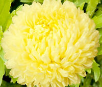 ASTER PAEONY DUCHESS YELLOW Callistephus Chinensis - 100 Bulk Seeds