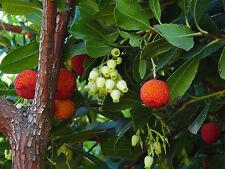 Plantes arbutus unedo pot 3 litres 40/60 cm Arbousier