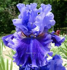 "Tall Bearded ""Evening Tidings"" Iris - Ruffled Blue Violet Hues '09 * Perennial"