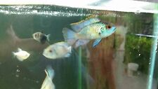 1 Live Freswhater Electric Blue Acara Cichlid Tropical Freshwater Fish