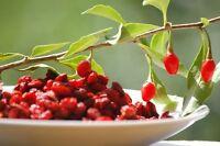winterharte Garten Pflanzen Samen exotische Zierpflanze selten GOJIBEERE