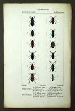 DIFFERENTS ANOBIDES Insecte entomologie coléoptères gravure aquarelle 1819