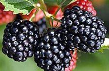 Blackberry Triple Crown - Fruit Garden Thornless Bare Root Plant - 6 Plants