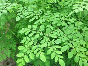 Meerrettichbaum - Moringa - Saatgut 10+ Samen - GESUND und RASCHWÜCHSIG!