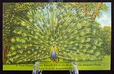 Postcard Prize Peacock Shows Himself Off St Augustine Florida Unposted Linen