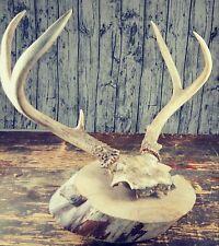 Vintage Washington Deer Buck Antlers Rack Taxidermy, Man Cave Plaque