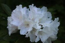 """Rhododendron Yaku Princess - Mature Plant - 24"""" to 30"""" Wide -  Hary to -10 F"""