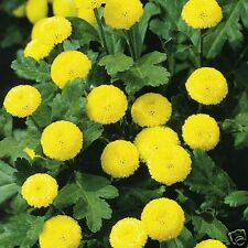 Matricaria Golden Balls Seed Perennial Cut/Dried Flower Medicinal Low Growing