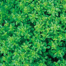 BASIL Greek ORGANIC SEED Compact plant. Small leaves with usual basil flavour