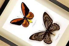 Ornithoptera croesus lydius   echter Schmetterling im Schaukasten hinter Glas