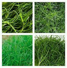 120 semillas Okahijiki Salsola komarovii Algas de tierra seeds graines sementes