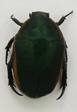 CET45 Cetoiniidae: Pachnoda prasina