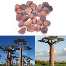 10X Seeds Of Adansonia digitata Baobab Tree Outdoor Plant High GerminationBLUS