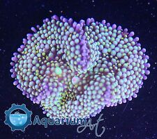 """""""AQM"""" WYSIWYG ULTRA MULTI MOUTH RICORDEA  MR31 Live corals, REEF, LPS, ANEMONE"""