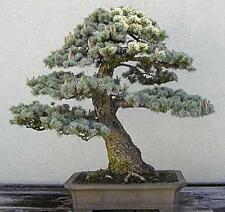 35 x CEDRO Giapponese Albero SEMI, SEMI DI Albero che può essere utilizzato per bonsai.