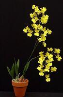 Rare orchid hybrid (near bloom) - Brassolaeliocattleya haw yuen beauty