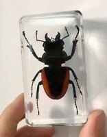 T-01  5 PCS Insects in Clear Resin Paper Weights Mountain Stag Beetle