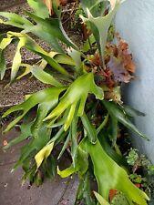 Platycerium Bifurcatum, staghorn fern, elkhorn fern spores, epiphytes