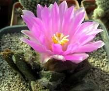 Toumeya papyracantha RP119,seeds10 pcs