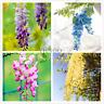 Flowers Wisteria Plants 10 PCS Seeds Rare Bonsai Wisteria Tree Perennial Garden
