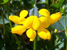 bird's foot trefoil, PERENNIAL, yellow flower, 335 seeds! GroCo*