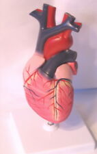 Human heart anatomy medical anatomical model life size teaching student NEW