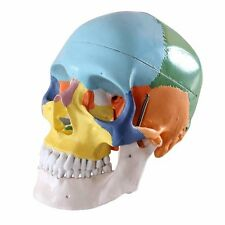 Human 1:1 Size Skull with Colored Bone Joint Simulation Model Medical Anatomy