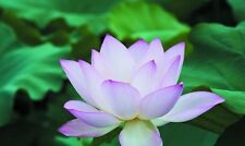 5 Blue Enchantress Lotus Seeds - white with blue edges