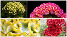 0.2g (app.260) cockscomb seeds CORAL GARDEN, Stunning colors, Mixed variety
