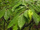 American Chestnut Castanea dentata 3 seeds fresh seeds for harvesting