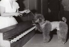 France Paris Salle Pleyel Performing Dog Playing Piano Miss Moune old Photo 1960