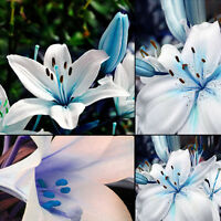 50pc Blue Rare Lily Bulbs Seeds Planting Lilium Perfume Flower Easy to Plant