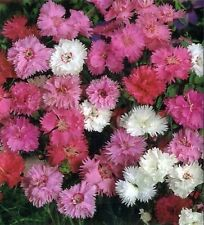 Clove Dianthus plumaris Terry Mix Flower Seeds  from Ukraine