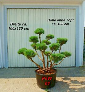 Pinus, Kiefer, Bonsai, Gartenbonsai, Formgehölz, Formschnitt,  Niwaki, PsW 61