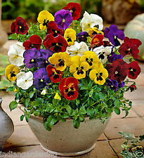Pansy Flower Seeds - Mixed Colour Seeds - Colorful Flower Seeds - 50 Seeds Pack