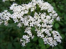 VALERIAN 50 Seeds CALMING HERB CURES COLD Valeriana officinalis SLEEP AID REMEDY