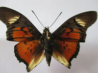 Entomologie Nymphalidae Charaxes acraeoides Mâle RCA