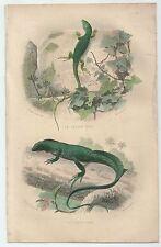 1839 LÉZARD VERT PORTE CRÊTE lacerta viridis ramarro Hydrosaurus amboinensis