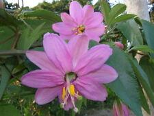 Flor de la Passion Rosa - PASSIFLORA MOLLISSIMA - 8 Semillas - Jardín - Garden