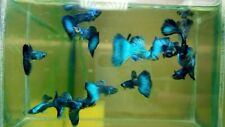 1 Trio - Live Guppy Fish High Quality - Green Moscow- USA Seller