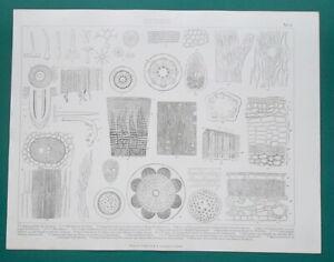 BOTANY Plant Anatomy Wood Roots Bark Cells - 1870 Antique Print