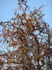 Korkenzieher-Hasel nuss - Corylus avellana 'Contorta' - Winterharte Pflanze 60cm