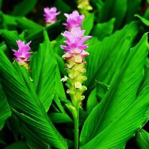 🔥 Madagascan CURCUMA MANGGA Turmeric Plant Roots Rhizomes Rare Flower TR05-03
