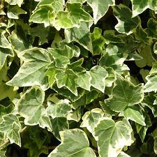 Plante Hedera Helix White Ripple en pot Ø9cm (mur tableau végétal d'intérieur)