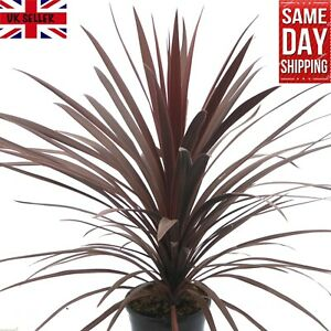 Cordyline Australis Purpurea 20+ Fresh Seeds Cornish Palm Same Day Dispatch